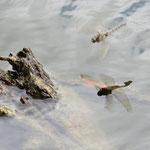 Großer Blaupfeil, Weibchen im Flug - Bruchsee bei Heppenheim