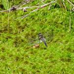 Vierfleck, sehr altes Tier - Olfener Moor