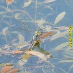 Große Königslibelle, weiblich, Eiablage
