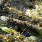 Herbst-Mosaikjungfer, Weibchen - Eiablage