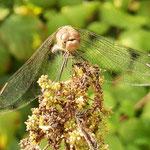 Große Heidelibelle, Weibchen - NSG Biedensand