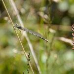 Gemeine Becherjungfer - frisch geschlüpft; Seen bei Breitenbuch (BY)