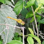 Blutrote Heidelibelle, Männchen frisch geschlüpft