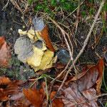 Gelbe Lohblüte überwuchert Pilz