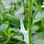 Gemeine Weidenjungfer, Seen bei Breitenbuch - BY