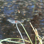 Kleine Moosjungfer - Olfener Moor