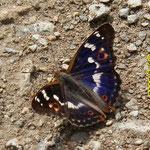 Kleiner Schillerfalter, männlich (Blauschillerform)