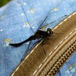 Schwarze Heidelibelle, Männchen - Olfener Moor