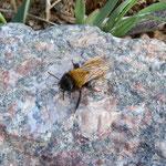 Sandbiene  (Andrena fulva)