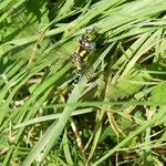 Blaugrüne Mosaikjungfer, Männchen