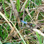 Kleiner Blaupfeil, Männchen