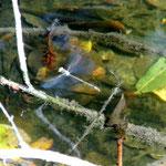 Große Pechlibelle im Flug - Bruchsee bei Heppenheim