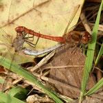 Große Heidelibelle, Paarungsrad - Waldsee Viernheim