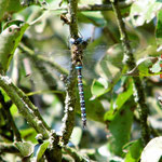 Herbst-Mosaikjungfer, Männchen - NSG Biedensand