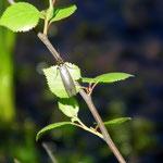 Köcherfliege (Parachiona picicornis)
