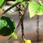 Herbst-Mosaikjungfer, Weibchen