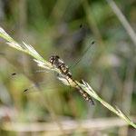 Schwarze Heidelibelle, frisch geschlüpftes Männchen