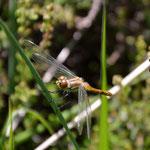 Schwarze Heidelibelle, Weibchen frisch geschlüpft - Seen bei Breitenbuch