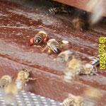 Heimkehr der Honigbiene