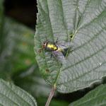 Neomyia cornicina