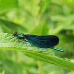 Blauflügel-Prachtlibelle, Männchen - Mörlenbach