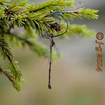 Gemeine Weidenjungfer, Tandem - Seen bei Breitenbuch (BY)