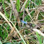 Kleiner Blaupfeil