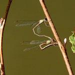 Gemeine Weidenjungfer - Mit Hilfe des Legebohrers sticht das Weibchen rund 200 Eier in die Rinde von Zweigen verschiedener Weichholzbaumarten ein. Die Eiablage erfolgt in Tandemstellung oder, abends bei abklingender Aktivität, auch allein durch Weibchen.