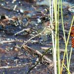 Zweigestreifte Quelljungfer - beobachtet im Olfener Moor