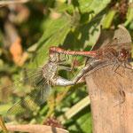 Große Heidelibellen, Paarungsrad