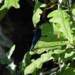 Blauflügel Prachtlibelle, Männchen
