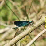 Blauflügel-Prachtlibelle, Männchen - Rehbach