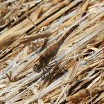 Große Heidelibelle, altes Weibchen - Froschkanzelsee bei Lorsch-Seehof