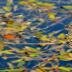 Große Königslibelle, Männchen im Flug - Waldsee bei Viernheim