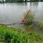 Rotwangen-Schmuckschildkröte im Rhein