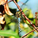 Herbst-Mosaikjungfer; Männchen