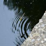 Falkenlibelle, Weibchen bei Eiablage - Seen bei Breitenbuch (BY)