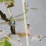 Große Königslibelle, Weibchen bei der Eiablage - Fischteich in Kreiswald bei Rimbach