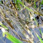 Früher Schilfjäger, Weibchen bei Eiablage