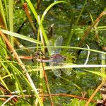 Kleine Moosjungfer -  Paarungsrad - Olfener Moor