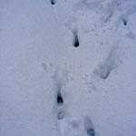 Rehspur im Schnee