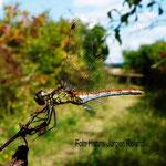 Blutrote Heidelibelle, jüngeres Weibchen