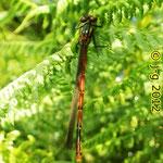 Frühe Adonislibelle, Weibchen - Quelltümpel, Lichtenklingen