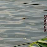 Kleine Königslibelle, Männchen im Flug - Froschkanzelsee