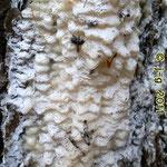 Insekten kleben am und im Harz