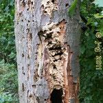 Ende Oktober - noch fliegen vereinzelt Hornissen, obwohl der Bau stark beschädigt ist