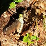 Frisch geschlüpfte Blaugrüne Mosaikjungfer - Fischteich Kreiswald bei Rimbach