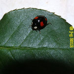 Vierfleckiger Kugelmarienkäfer