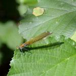 Gebänderte Prachtlibelle, Weibchen - Niederwaldsee