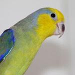 1,0 Gelbmasken-Sperlingspapagei von Zuchtpaar 1
